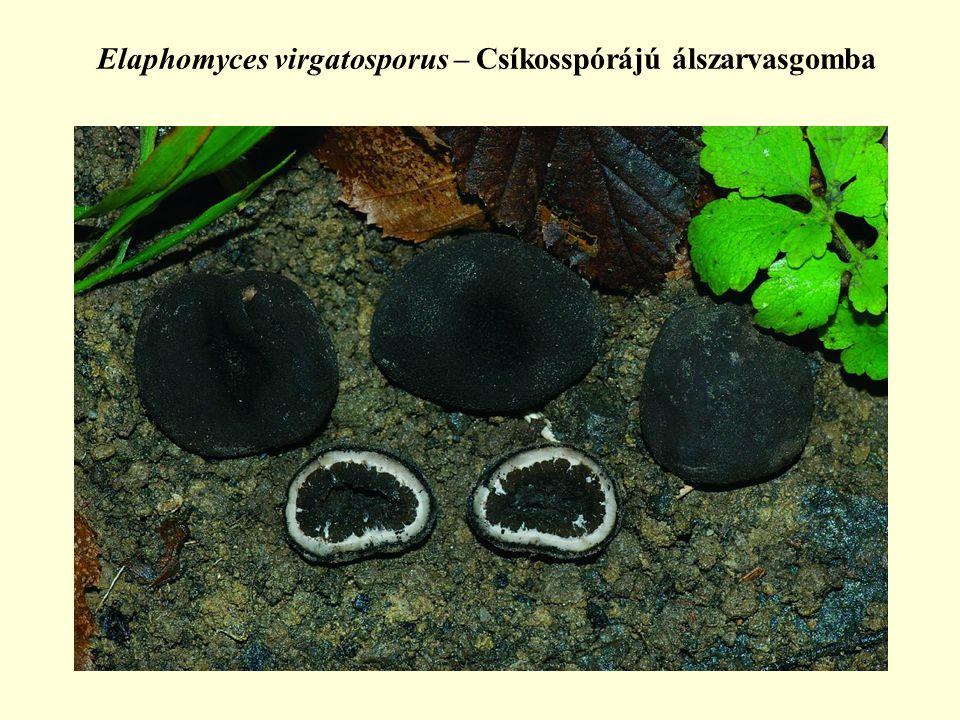 Elaphomyces virgatosporus – Csíkosspórájú álszarvasgomba