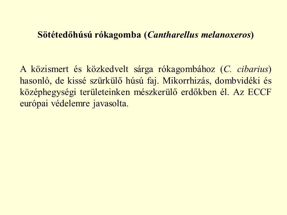 Sötétedőhúsú rókagomba (Cantharellus melanoxeros)