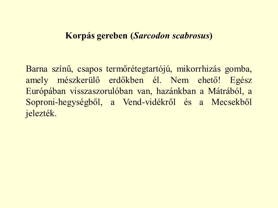 Korpás gereben (Sarcodon scabrosus)
