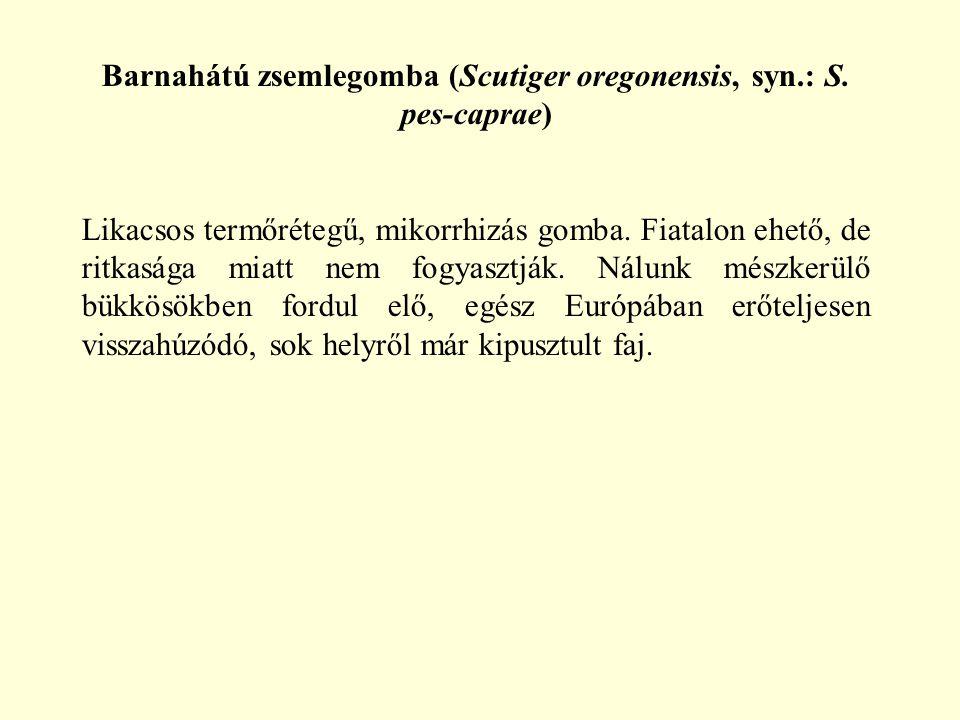 Barnahátú zsemlegomba (Scutiger oregonensis, syn.: S. pes-caprae)