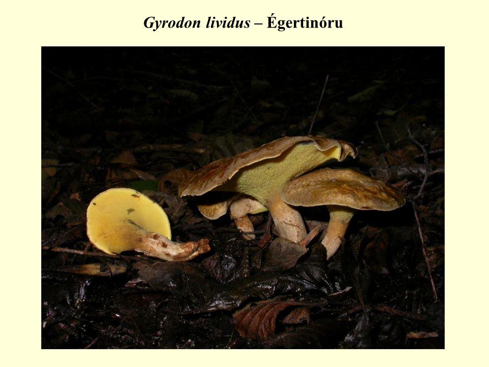 Gyrodon lividus – Égertinóru
