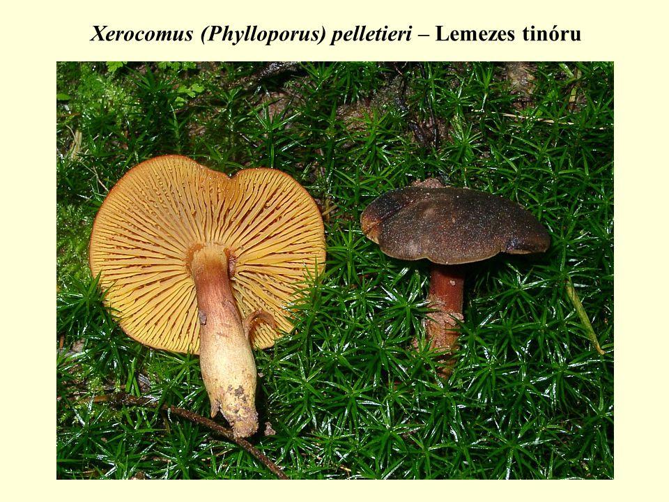Xerocomus (Phylloporus) pelletieri – Lemezes tinóru