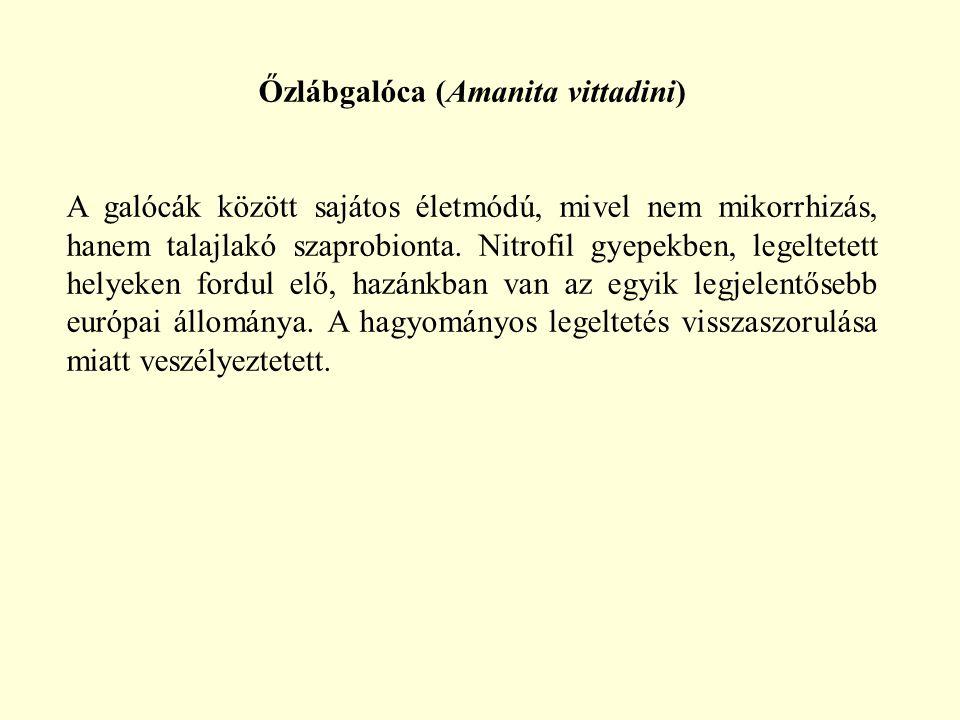 Őzlábgalóca (Amanita vittadini)