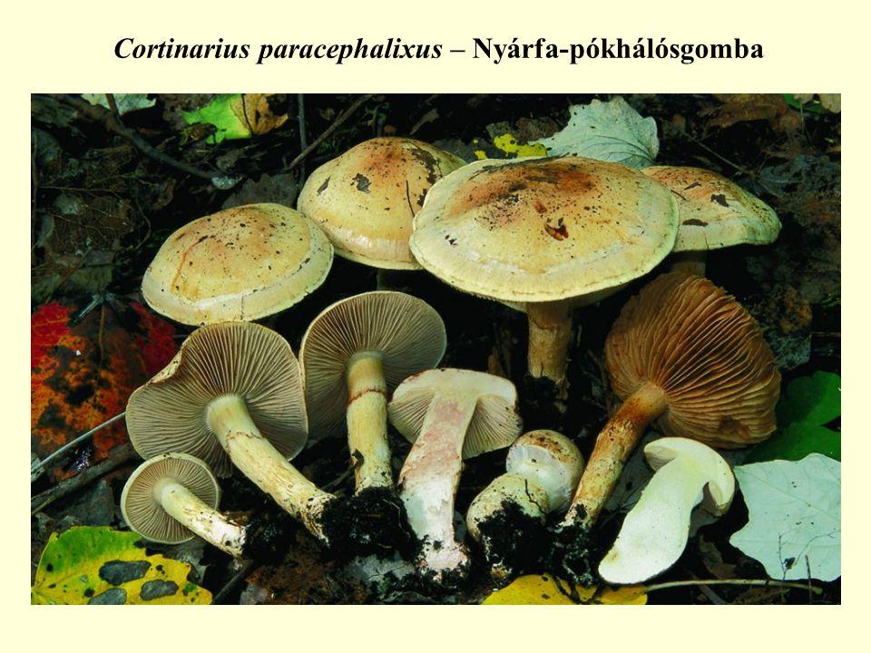 Cortinarius paracephalixus – Nyárfa-pókhálósgomba