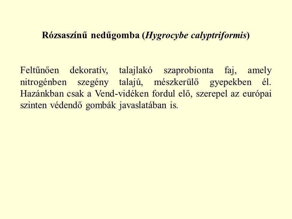 Rózsaszínű nedűgomba (Hygrocybe calyptriformis)