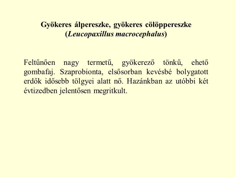 Gyökeres álpereszke, gyökeres cölöppereszke (Leucopaxillus macrocephalus)
