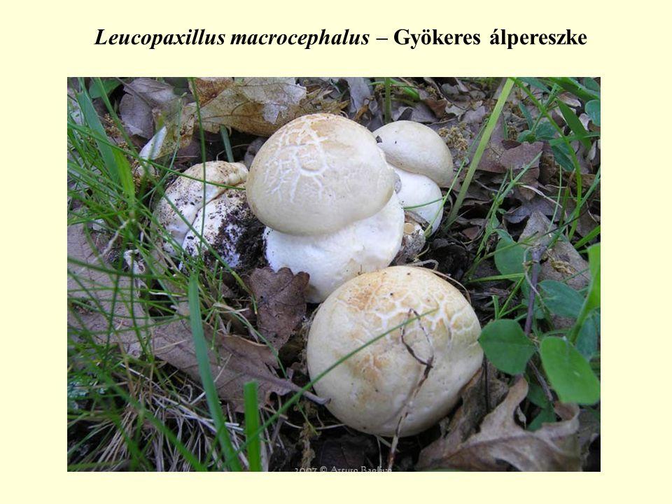 Leucopaxillus macrocephalus – Gyökeres álpereszke