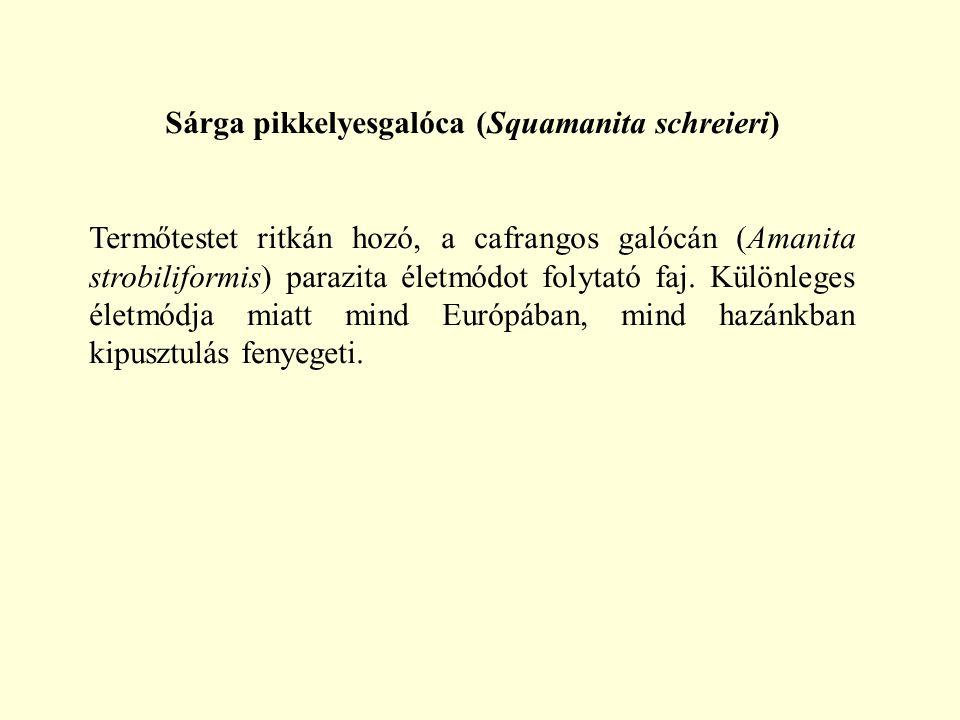 Sárga pikkelyesgalóca (Squamanita schreieri)