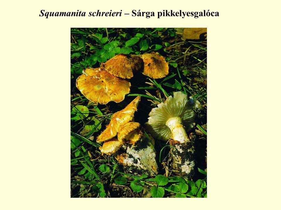 Squamanita schreieri – Sárga pikkelyesgalóca