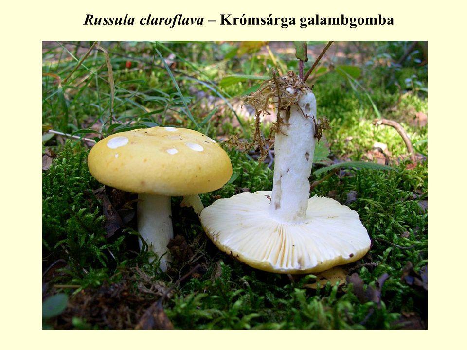 Russula claroflava – Krómsárga galambgomba
