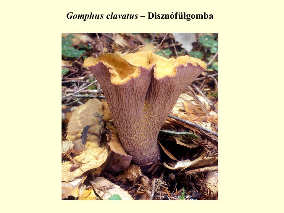 Gomphus clavatus – Disznófülgomba