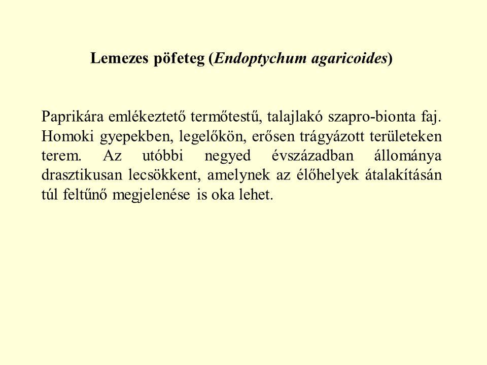 Lemezes pöfeteg (Endoptychum agaricoides)