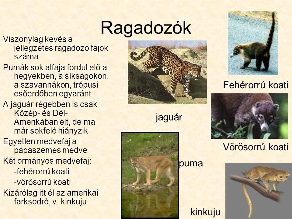 Ragadozók Fehérorrú koati jaguár Vörösorrú koati puma kinkuju