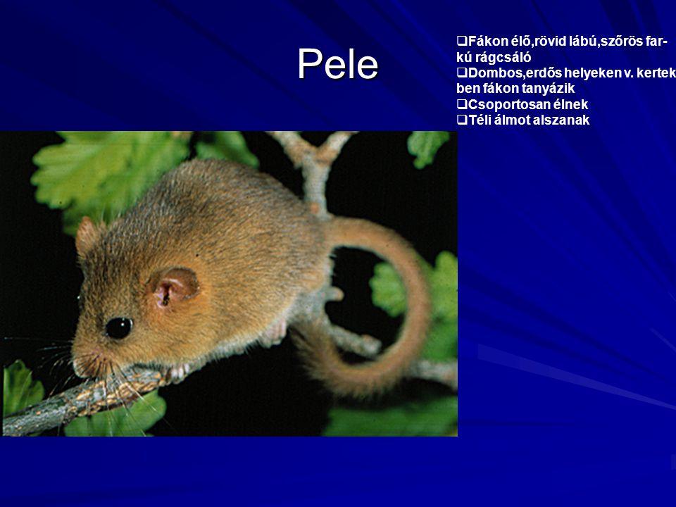 Pele Fákon élő,rövid lábú,szőrös far- kú rágcsáló