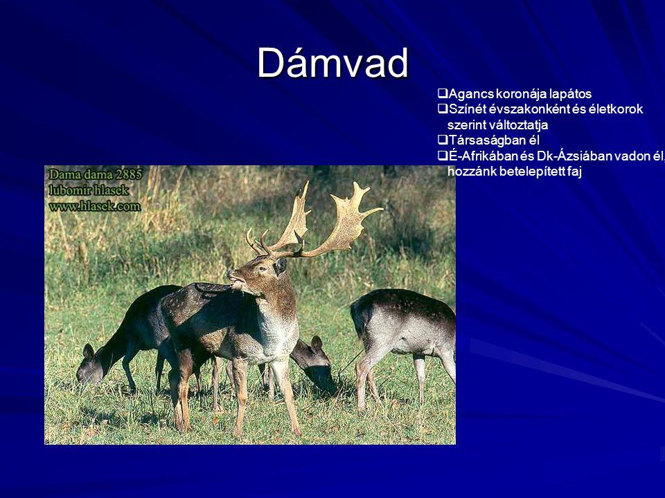 Dámvad Agancs koronája lapátos Színét évszakonként és életkorok