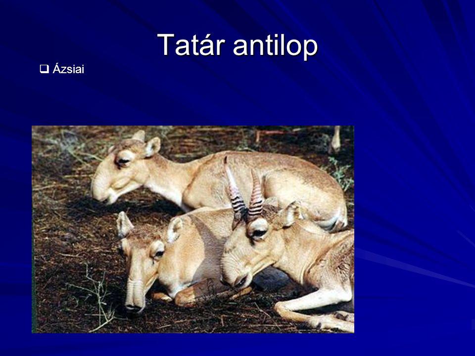 Tatár antilop Ázsiai