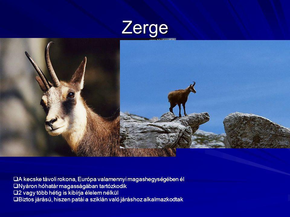Zerge A kecske távoli rokona, Európa valamennyi magashegységében él