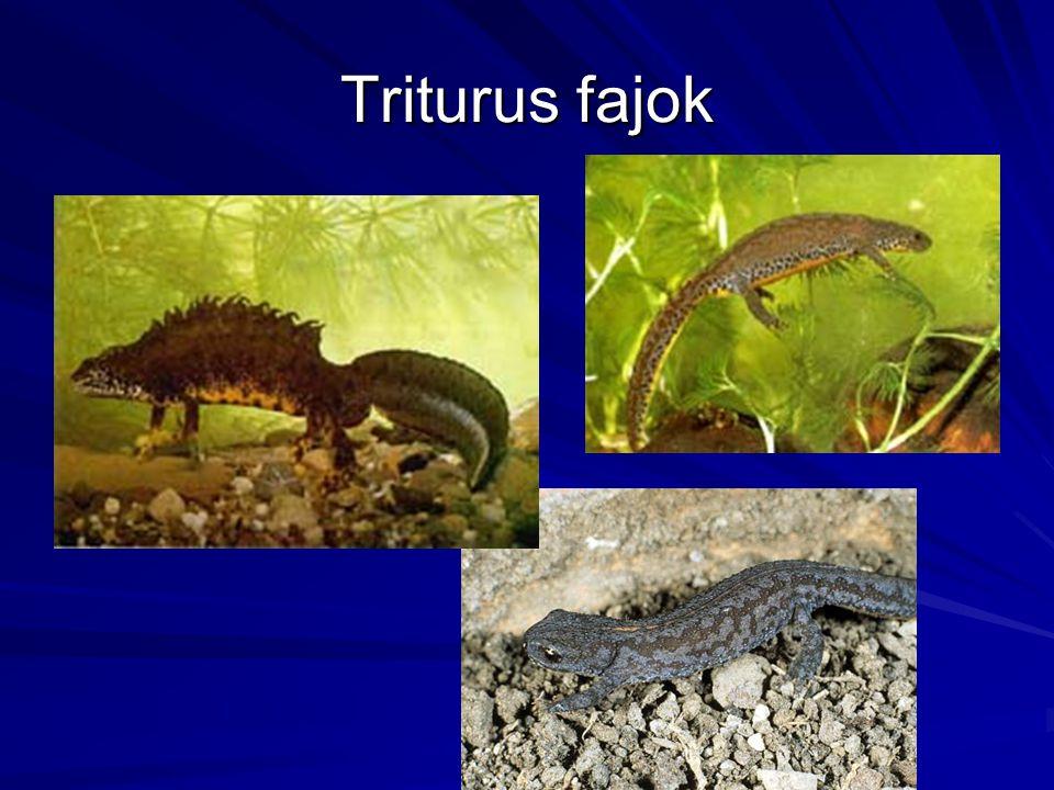 Triturus fajok .kjlkjhlk