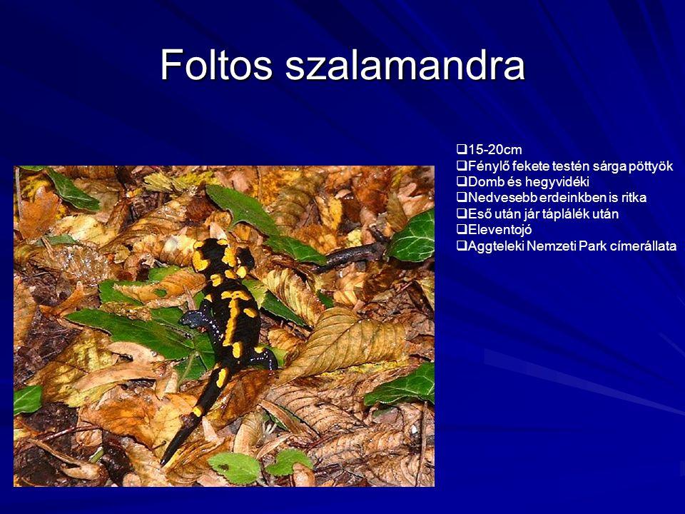 Foltos szalamandra 15-20cm Fénylő fekete testén sárga pöttyök