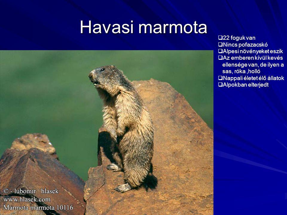 Havasi marmota 22 foguk van Nincs pofazacskó Alpesi növényeket eszik