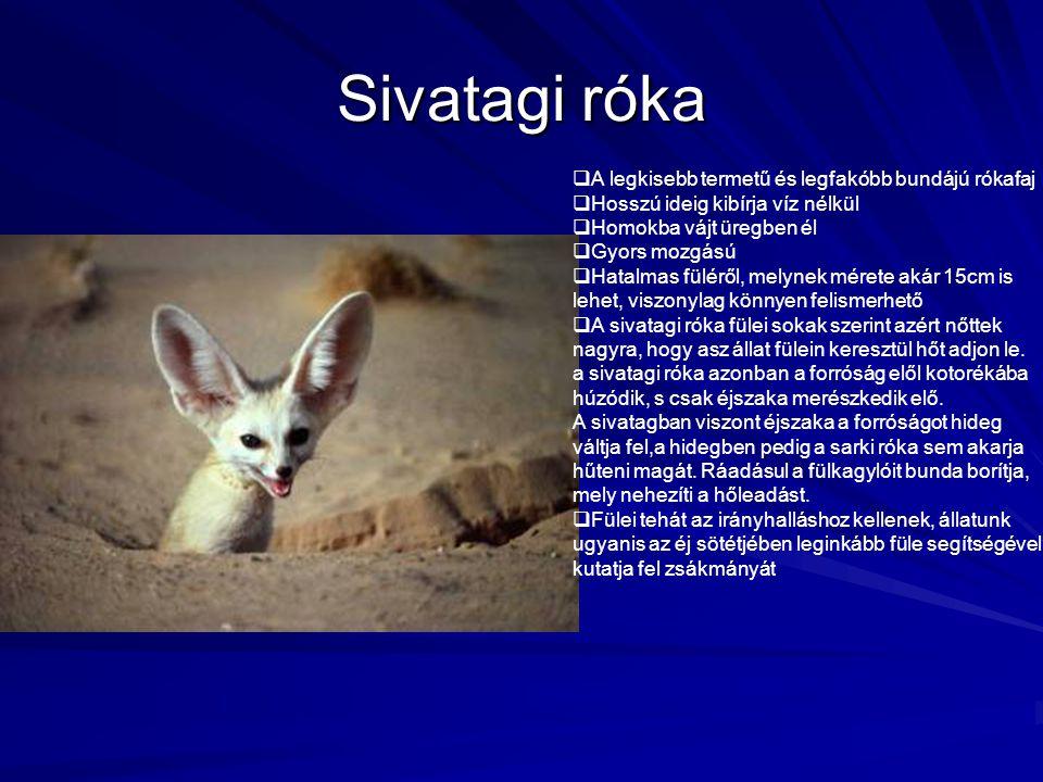 Sivatagi róka A legkisebb termetű és legfakóbb bundájú rókafaj