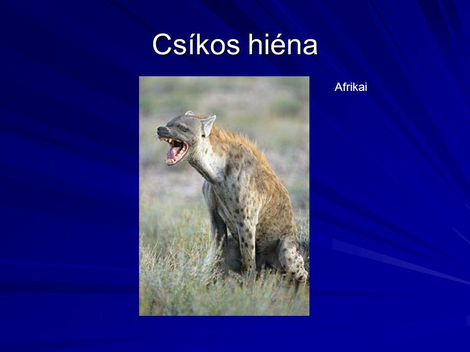 Csíkos hiéna Afrikai