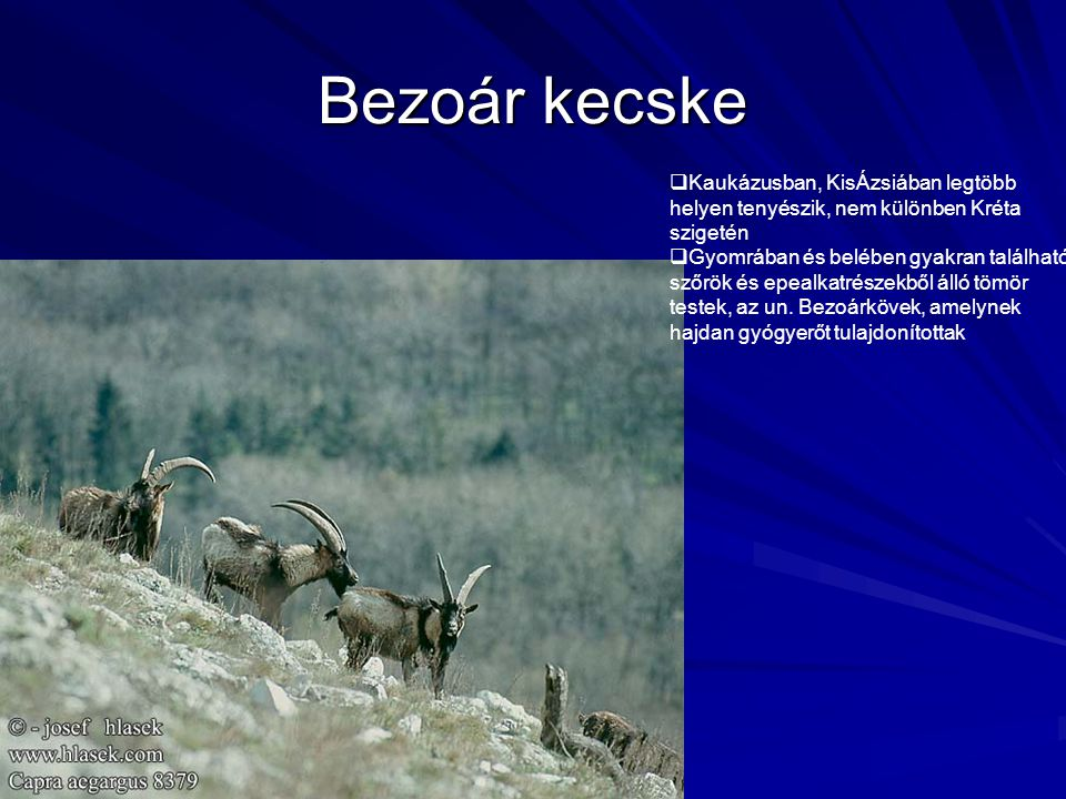 Bezoár kecske Kaukázusban, KisÁzsiában legtöbb