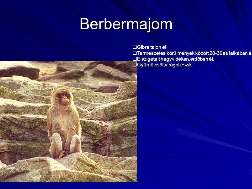 Berbermajom Gibraltálon él