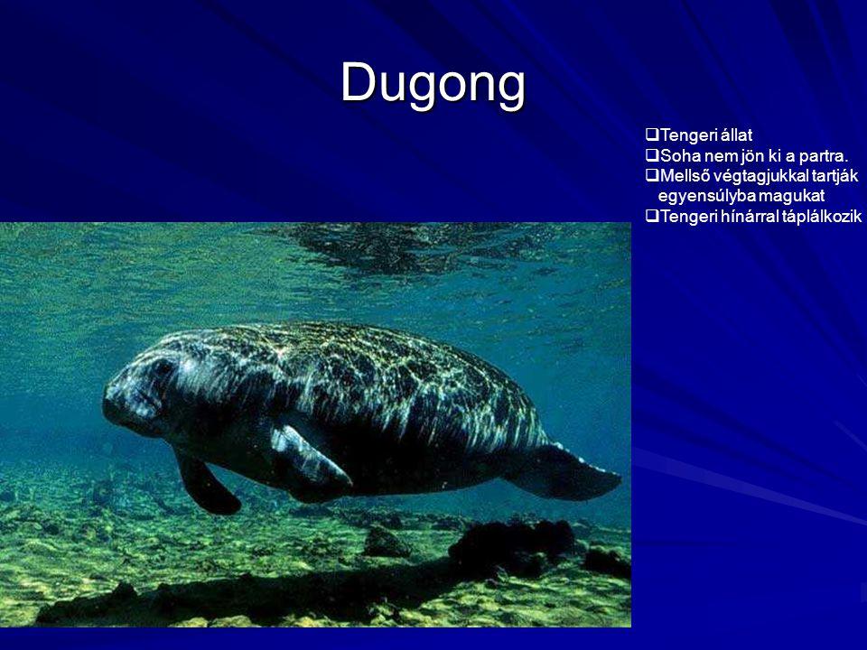 Dugong Tengeri állat Soha nem jön ki a partra.