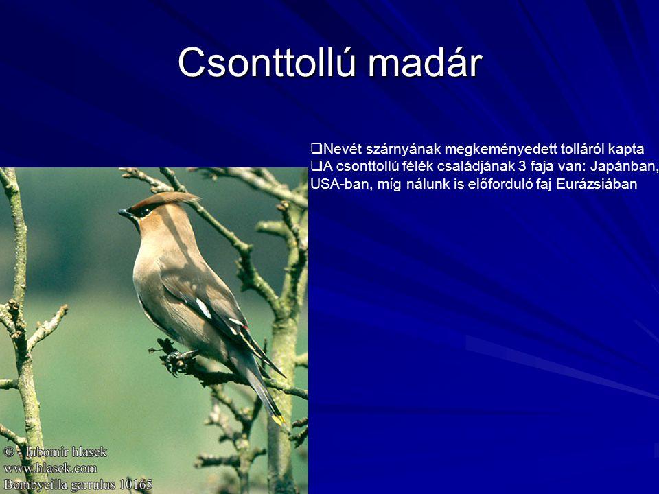 Csonttollú madár Nevét szárnyának megkeményedett tolláról kapta