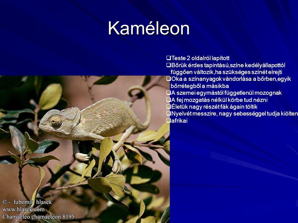 Kaméleon Teste 2 oldalról lapított