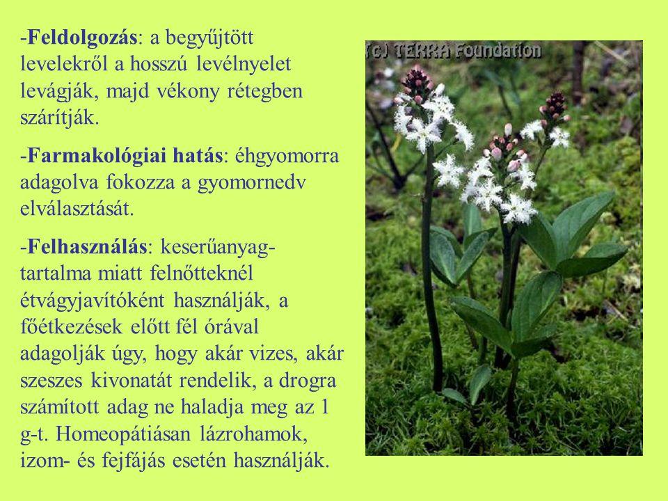 -Feldolgozás: a begyűjtött levelekről a hosszú levélnyelet levágják, majd vékony rétegben szárítják.