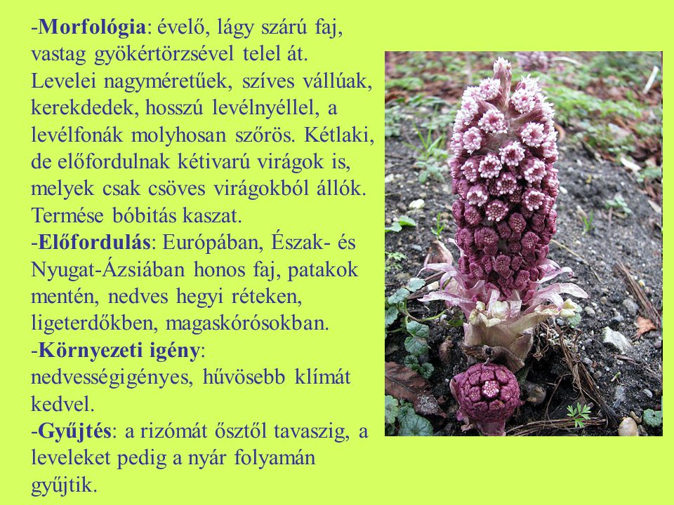 -Morfológia: évelő, lágy szárú faj, vastag gyökértörzsével telel át