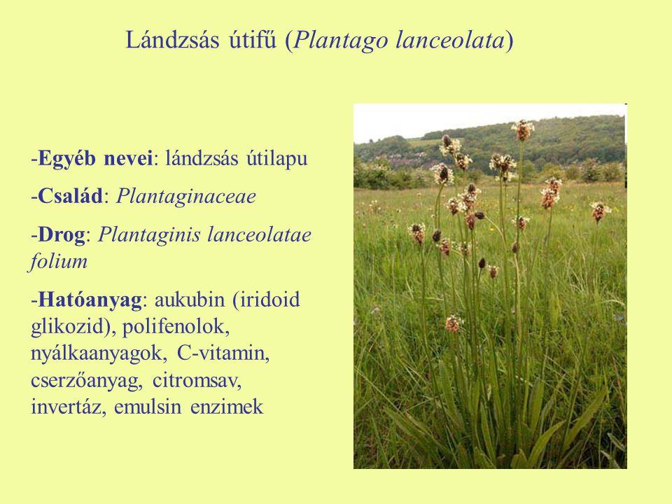 Lándzsás útifű (Plantago lanceolata)