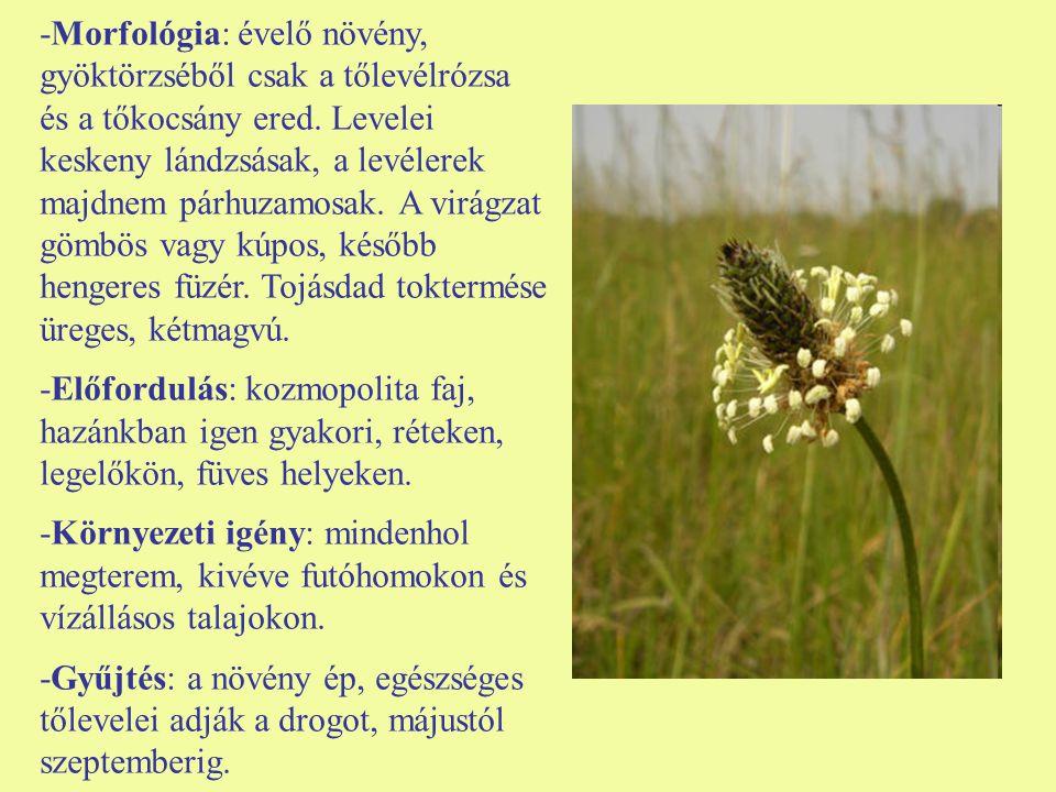 -Morfológia: évelő növény, gyöktörzséből csak a tőlevélrózsa és a tőkocsány ered. Levelei keskeny lándzsásak, a levélerek majdnem párhuzamosak. A virágzat gömbös vagy kúpos, később hengeres füzér. Tojásdad toktermése üreges, kétmagvú.