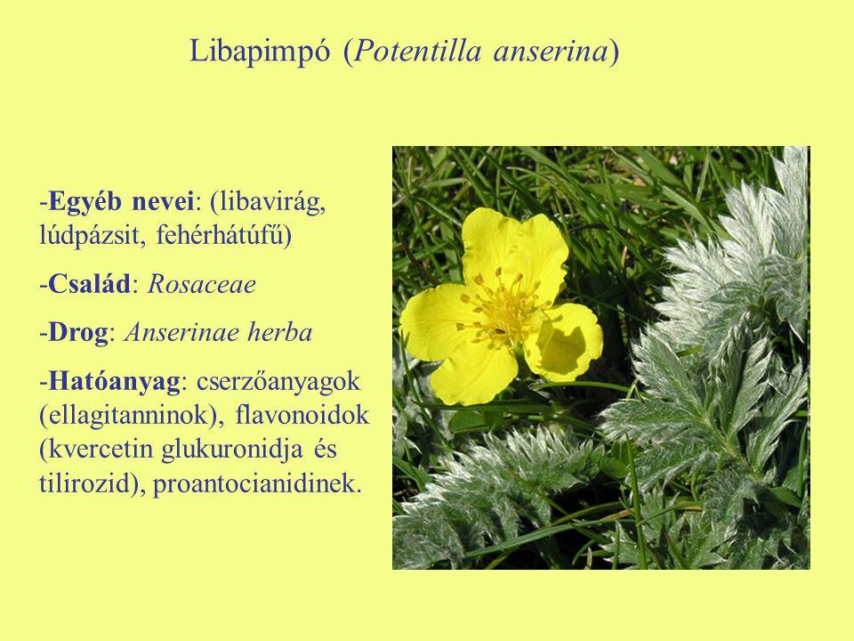 Libapimpó (Potentilla anserina)