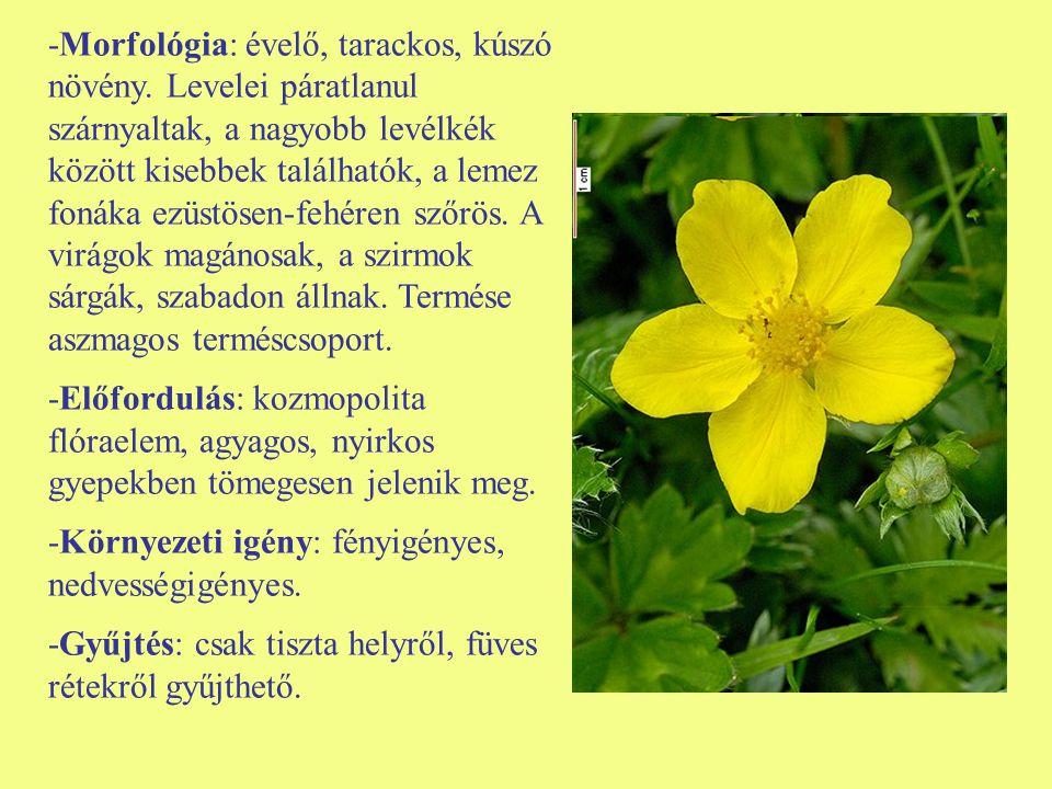 -Morfológia: évelő, tarackos, kúszó növény