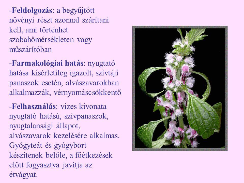 -Feldolgozás: a begyűjtött növényi részt azonnal szárítani kell, ami történhet szobahőmérsékleten vagy műszárítóban