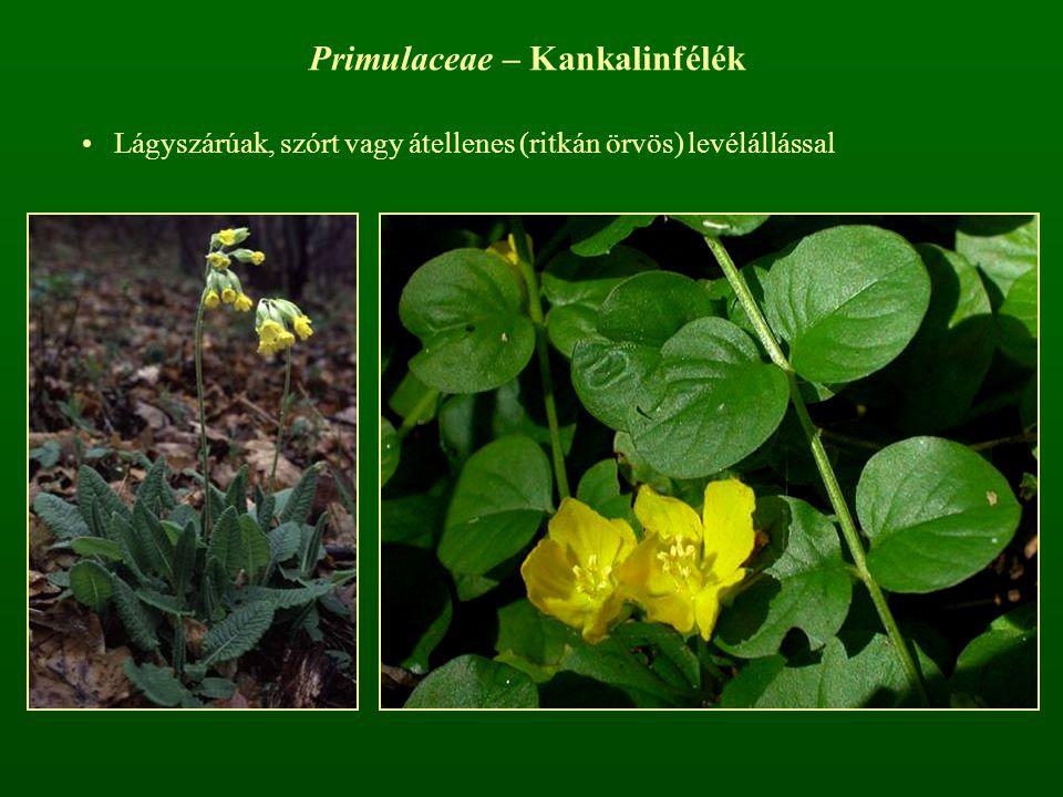 Primulaceae – Kankalinfélék