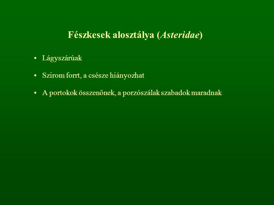 Fészkesek alosztálya (Asteridae)