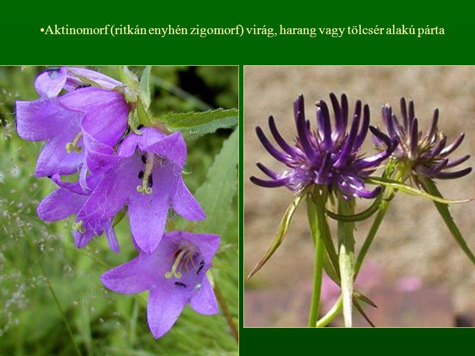 Aktinomorf (ritkán enyhén zigomorf) virág, harang vagy tölcsér alakú párta