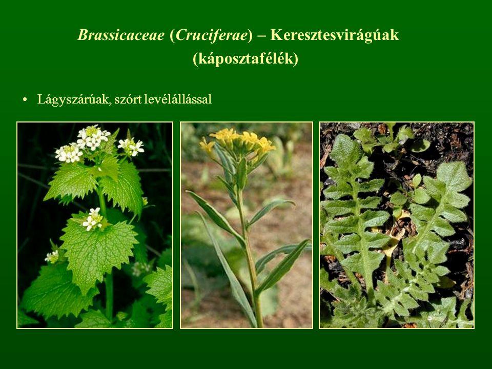 Brassicaceae (Cruciferae) – Keresztesvirágúak (káposztafélék)