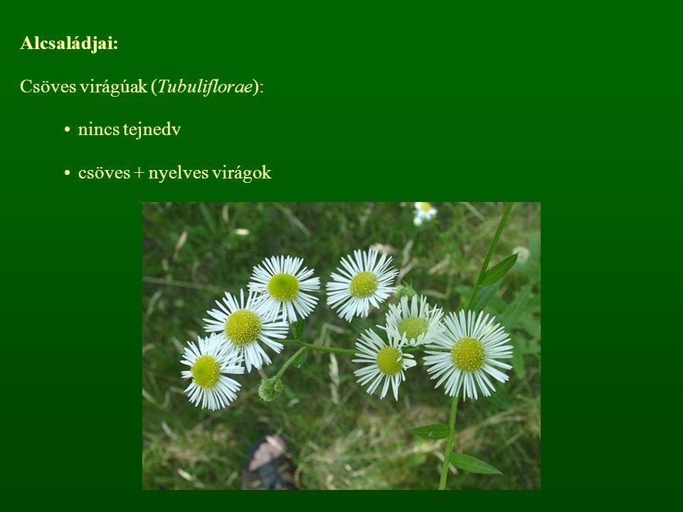 Alcsaládjai: Csöves virágúak (Tubuliflorae): nincs tejnedv csöves + nyelves virágok