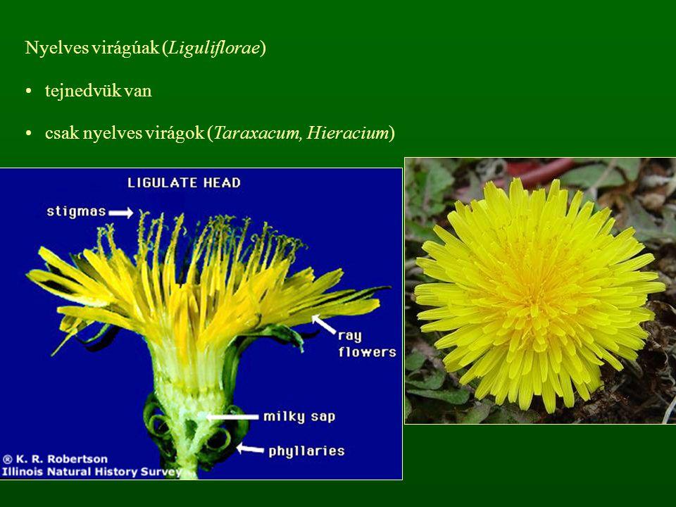 Nyelves virágúak (Liguliflorae)
