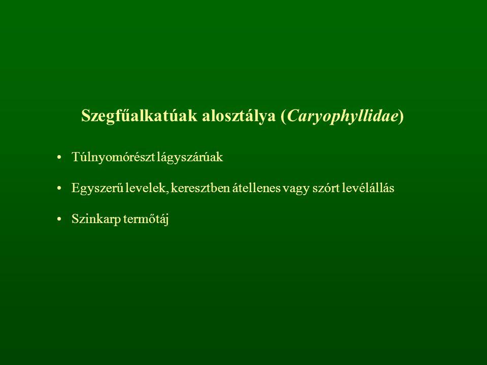 Szegfűalkatúak alosztálya (Caryophyllidae)