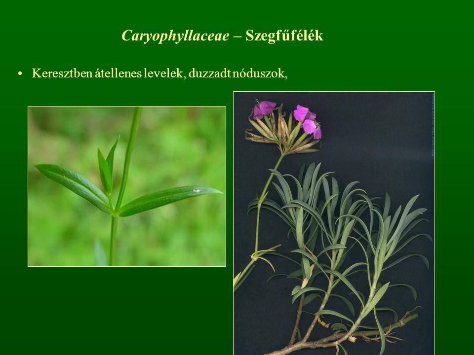 Caryophyllaceae – Szegfűfélék