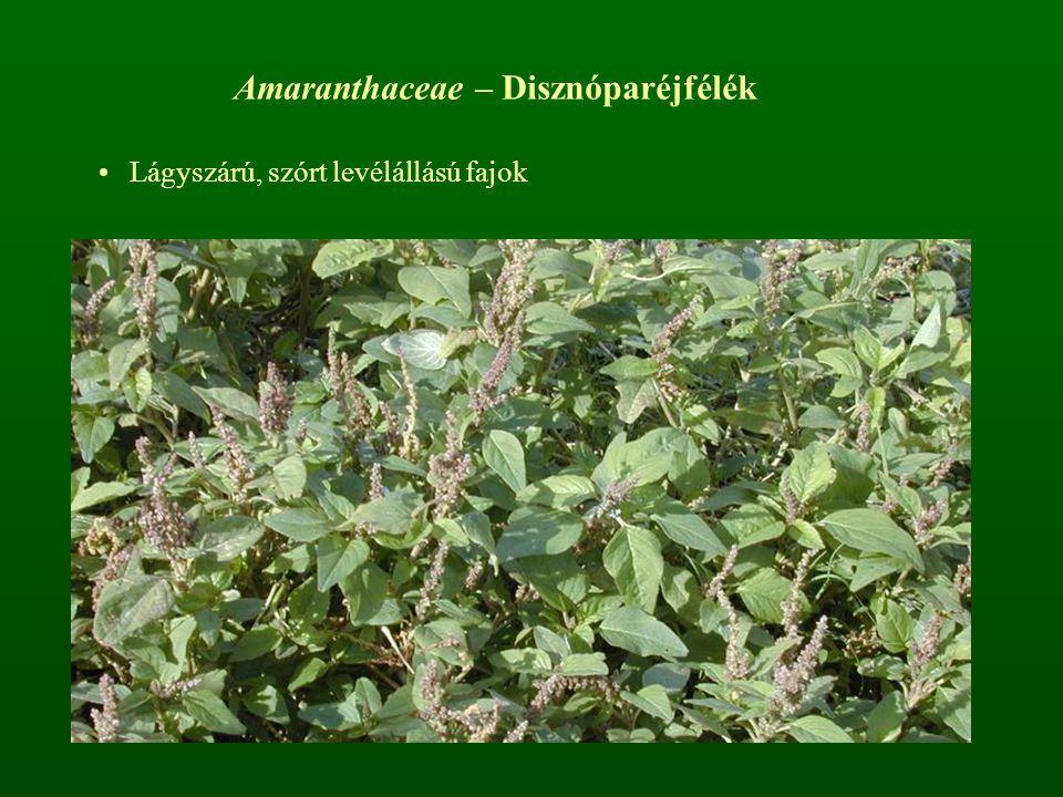Amaranthaceae – Disznóparéjfélék