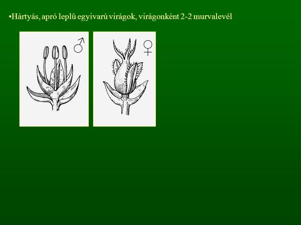 Hártyás, apró leplű egyivarú virágok, virágonként 2-2 murvalevél