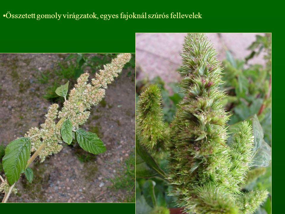 Összetett gomoly virágzatok, egyes fajoknál szúrós fellevelek