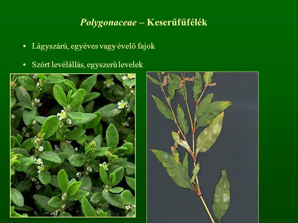 Polygonaceae – Keserűfűfélék